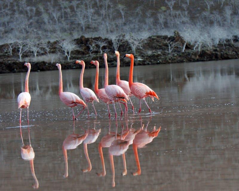 tana flamingów Galapagos wielka kotelnia fotografia stock