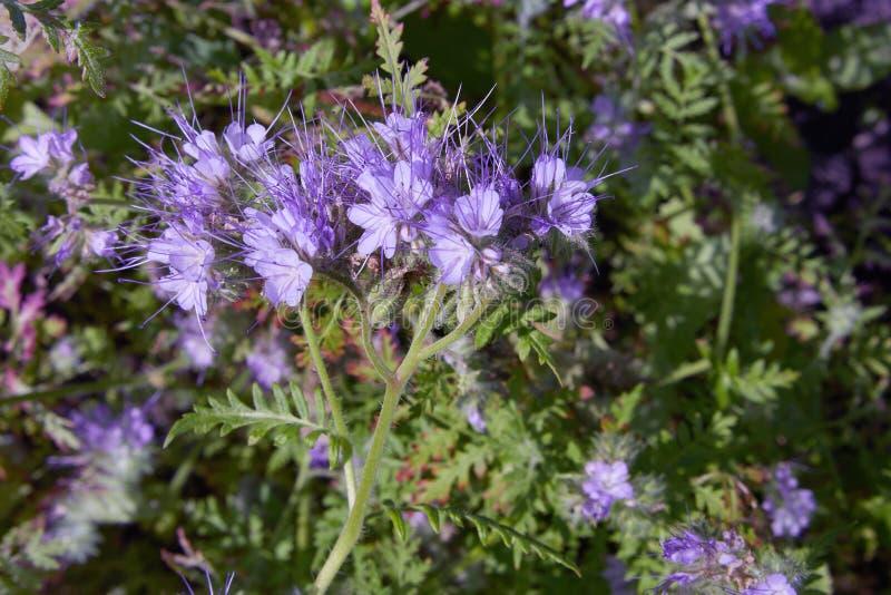 Tanacetifolia Phacelia вид phacelia известный phacelia общих имен кружевным стоковое изображение