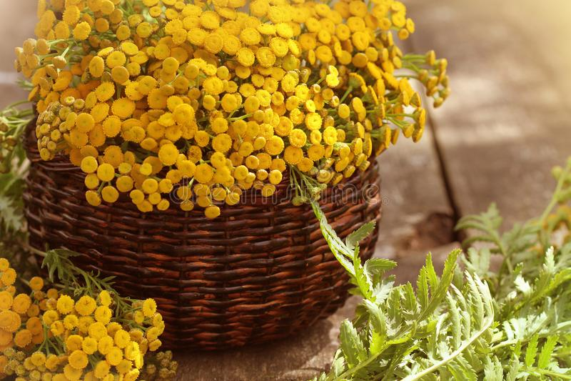 Tanacetum пижмы - постоянный сложноцветные Compositae herbaceous заводов Сбор трав целебного сырья стоковая фотография rf
