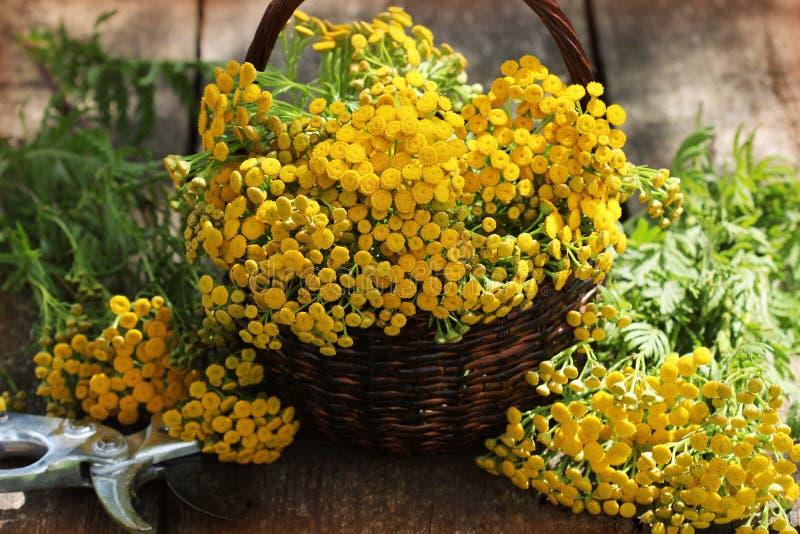 Tanacetum пижмы - постоянный сложноцветные Compositae herbaceous заводов Сбор трав целебного сырья стоковые фото