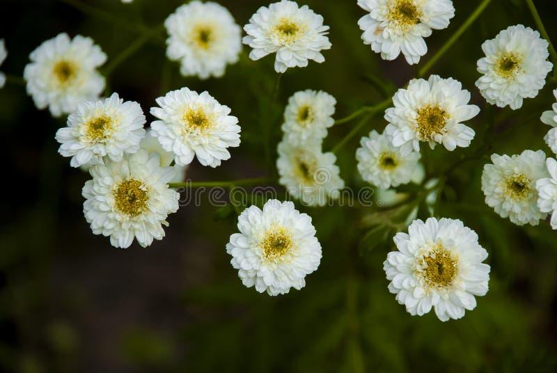 Tanacetum parthenium fotografie stock