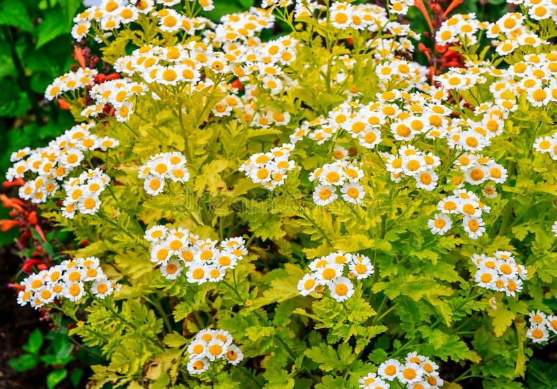 Tanacetum parthenium Aureum known as Feverfew stock photo