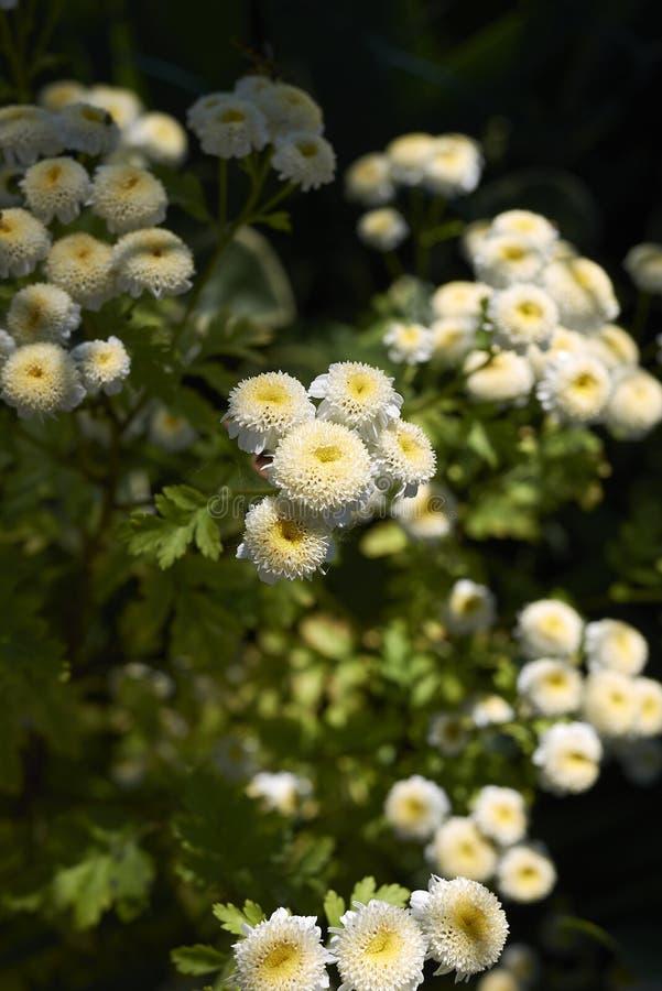 Tanacetum parthenium close up. White and yellow tiny flowers of Tanacetum parthenium royalty free stock image