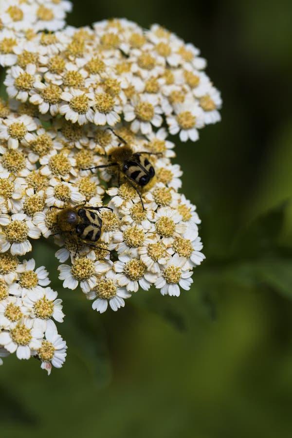 Tanacetum parthenium feverfew, kawalery zapina w kwiacie zdjęcie stock