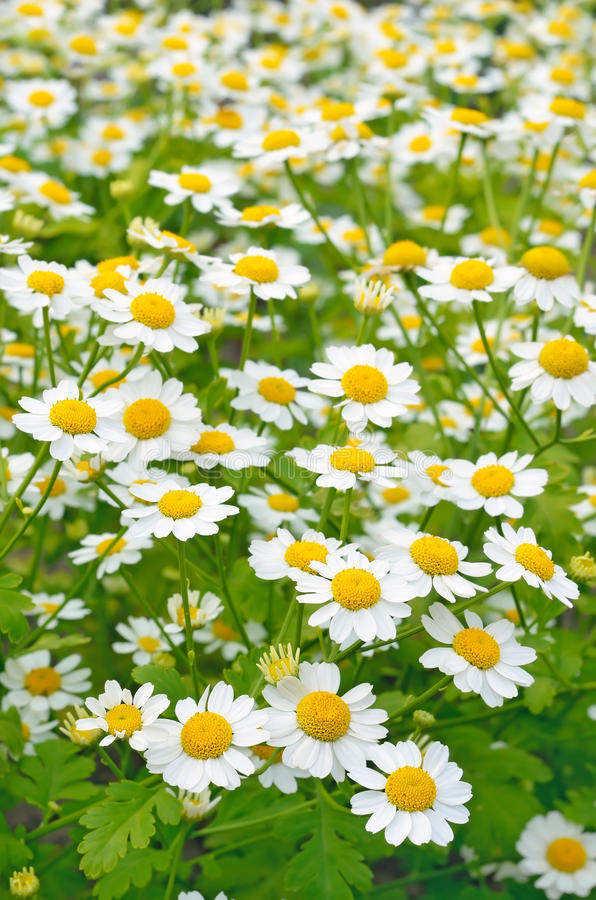 Tanacetum parthenium flowers royalty free stock photo