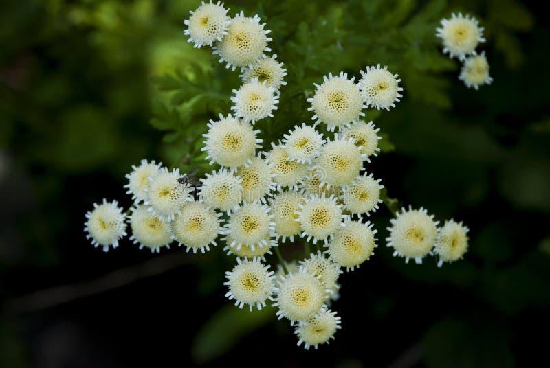 Tanacetum parthenium White Bonnet. & x28;Feverfew& x29; closeup view from above stock image