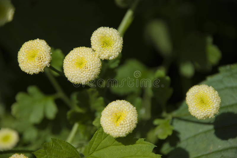Tanacetum parthenium White Bonnet. & x28;Feverfew& x29; closeup view from above royalty free stock photography