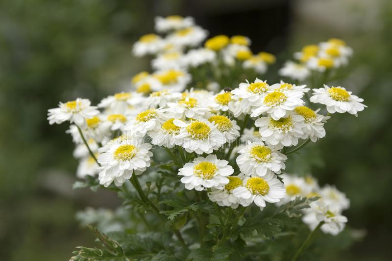 Tanacetum parthenium wild flower in bloom royalty free stock photography