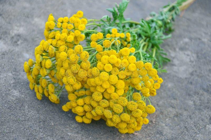 Tanacetum vulgare del tanaceto Floreale, fiore fotografie stock libere da diritti