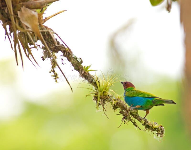 Tanager à tête de baie au Panama images stock