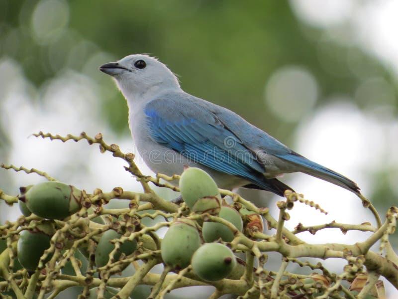 Tanager Bleu-gris images libres de droits