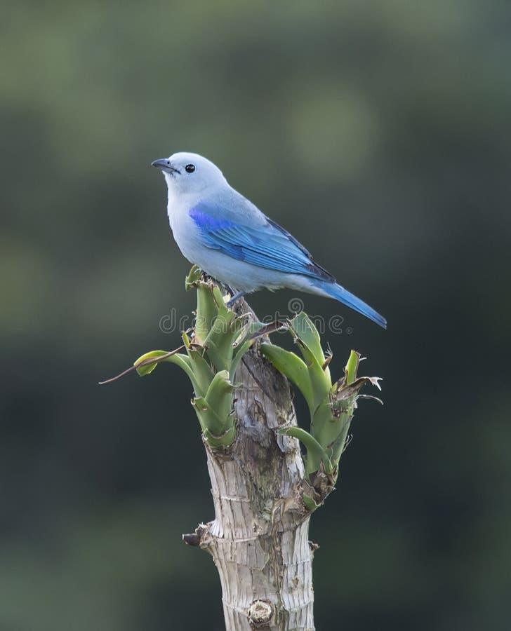Tanager Bleu-gris photographie stock