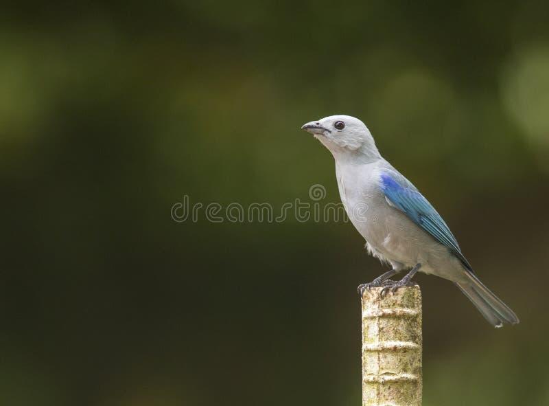 Tanager Bleu-gris au Panama photos libres de droits