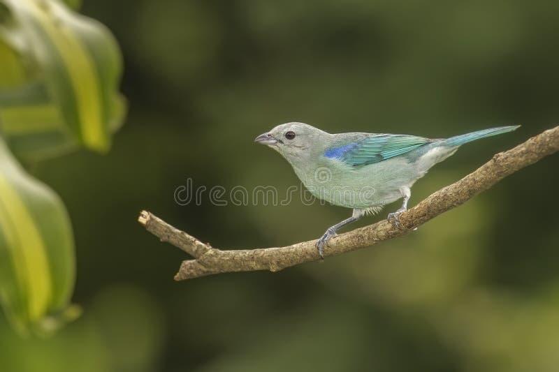 Tanager Blu-grigio fotografie stock libere da diritti