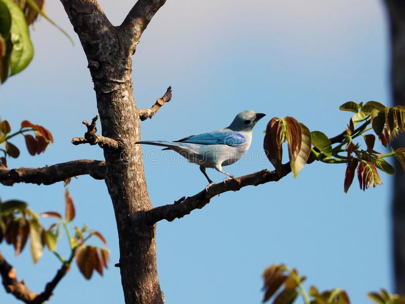 Tanager blu-grigio stupefacente, bello uccello blu da Costa Rica fotografia stock