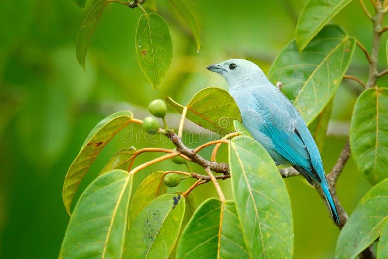 tanager Blu-grigio sul ramo muscoso in vegetazione verde Uccello blu-chiaro dalla giungla Uccello sveglio da Costa Rica, Africa immagini stock