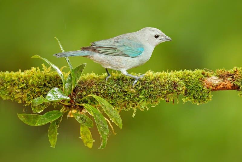 Tanager Blu-grigio, uccello blu tropicale esotico da Costa Rica Uccello che si siede sul bello ramo verde del muschio Birdwatchin fotografia stock