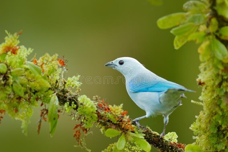 Tanager blu in vegetazione verde Bello uccello sul ramo Tanager Blu-grigio, forma blu tropicale esotica Costa Rica dell'uccello W fotografia stock libera da diritti