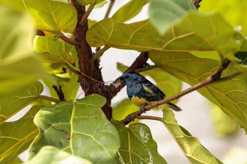 Download Tanager De Turquoise Connu Sous Le Nom De Mexicana De Tangara Photo stock - Image du tanager, faune: 87701920