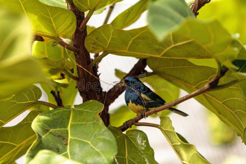Download Tanager De Turquoise Connu Sous Le Nom De Mexicana De Tangara Image stock - Image du avien, oiseau: 87701929