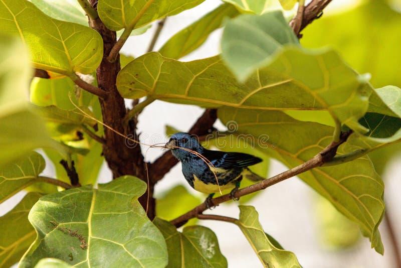Download Tanager De Turquoise Connu Sous Le Nom De Mexicana De Tangara Photo stock - Image du animal, turquoise: 87701932