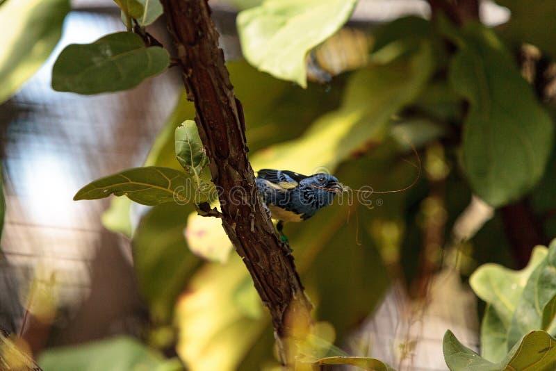 Download Tanager De Turquoise Connu Sous Le Nom De Mexicana De Tangara Photo stock - Image du animal, nature: 87701944