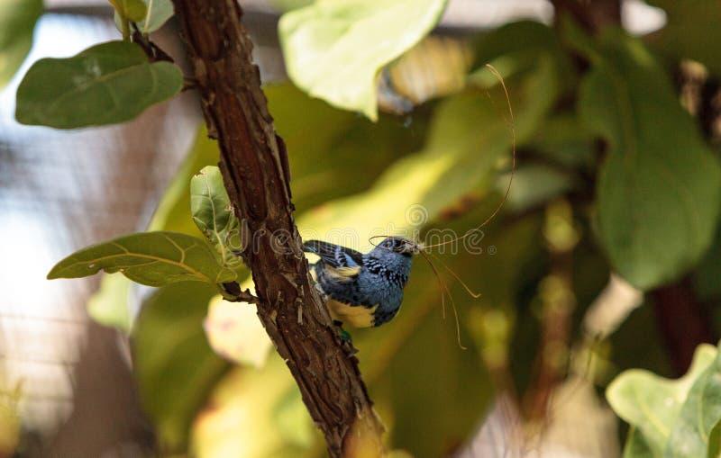 Download Tanager De Turquoise Connu Sous Le Nom De Mexicana De Tangara Photo stock - Image du tanager, faune: 87701946