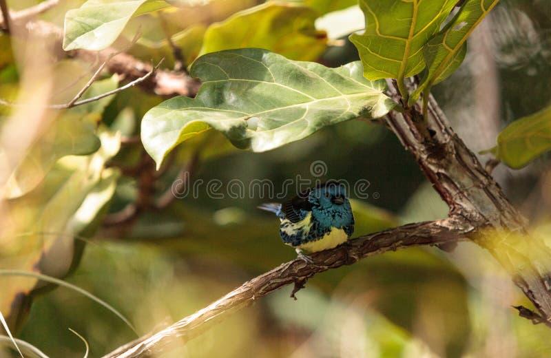 Download Tanager De Turquoise Connu Sous Le Nom De Mexicana De Tangara Image stock - Image du faune, tanager: 87701947