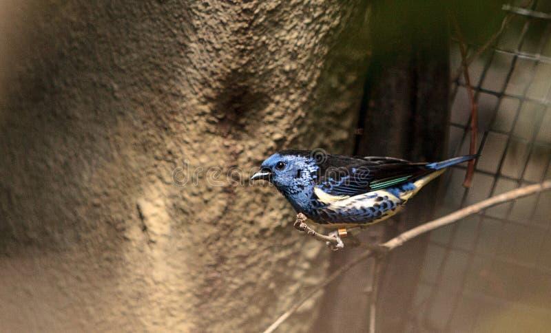 Download Tanager De Turquoise Connu Sous Le Nom De Mexicana De Tangara Photo stock - Image du nature, tanager: 87702006