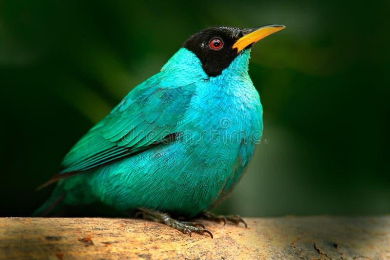Tanager från ståenden för vändkretsskognärbild av det trevliga djuret i livsmiljö Detalj av den härliga fågeln Gröna Honeycreeper royaltyfri bild