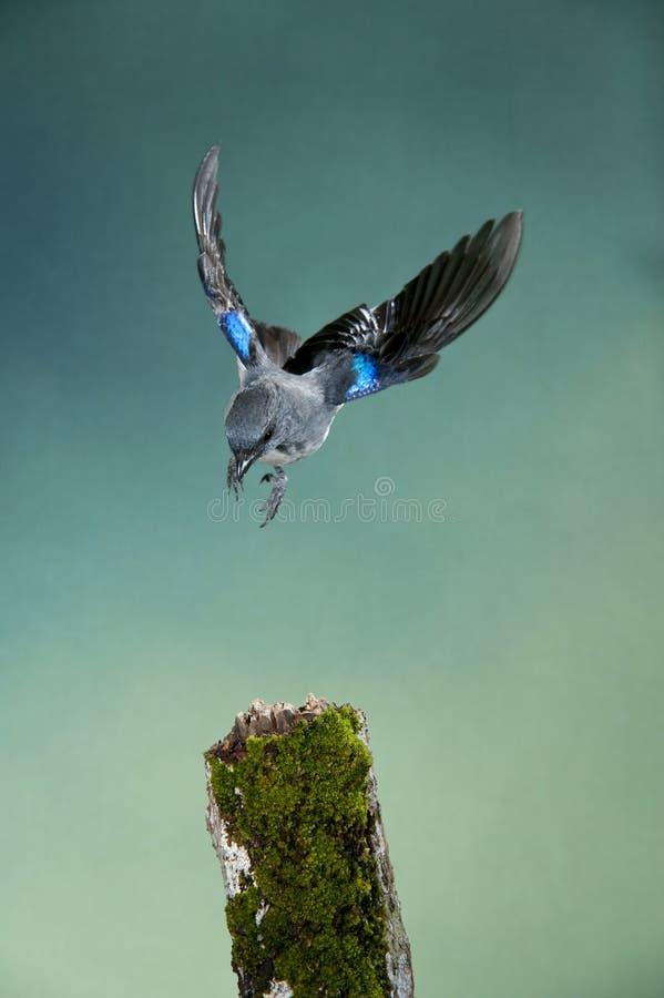Tanager Liso-colorido foto de stock