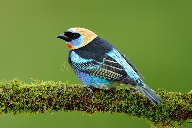 Tanager que senta-se no ramo Tanager Dourado-encapuçado, larvata de Tangara, pássaro azul tropico exótico com cabeça do ouro de C fotografia de stock