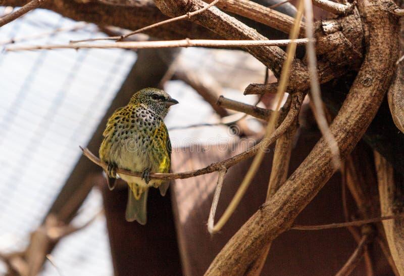 Download Tanager Repéré Connu Sous Le Nom De Tangara Punctate Photo stock - Image du nature, tanager: 87701896