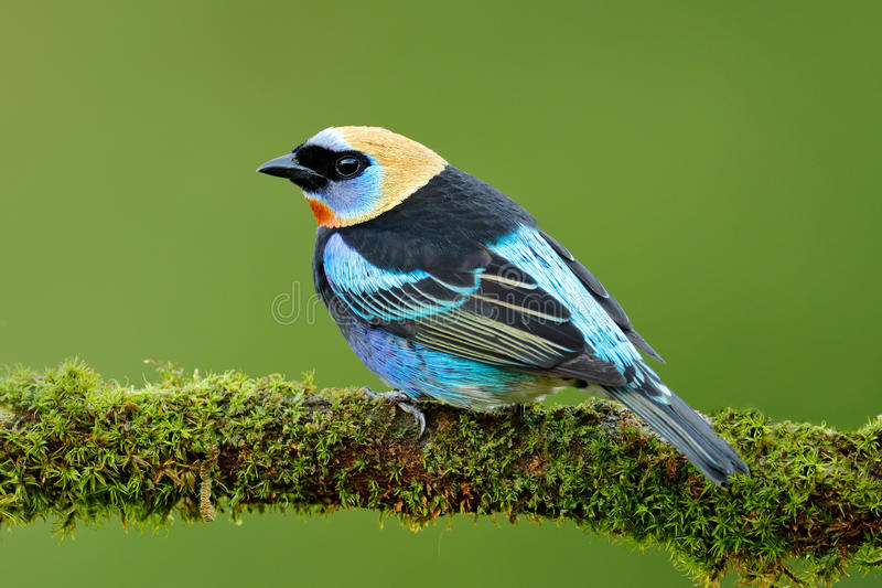 Tanager sitting on the branch. Golden-hooded Tanager, Tangara larvata, exotic tropic blue bird with gold head from Costa Rica. Gre. En habitat stock photography