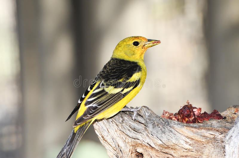 tanager western obrazy royalty free