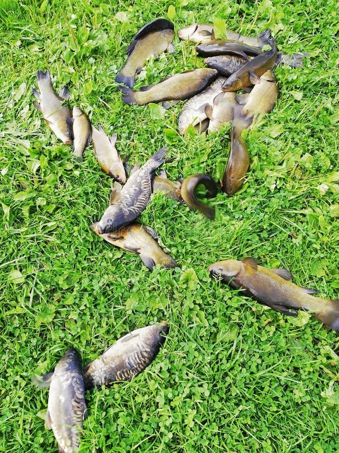 Tanches et carpe attrapées de poissons sur l'herbe par le lac images stock