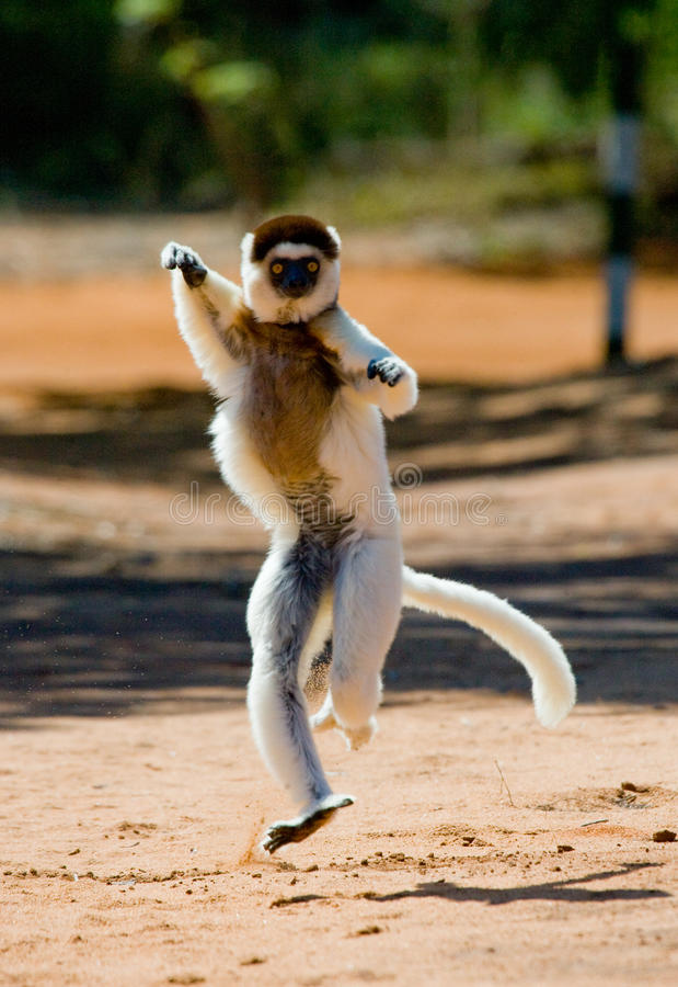 Tanczyć Sifaka jest na ziemi śmieszny obrazek Madagascar zdjęcie royalty free