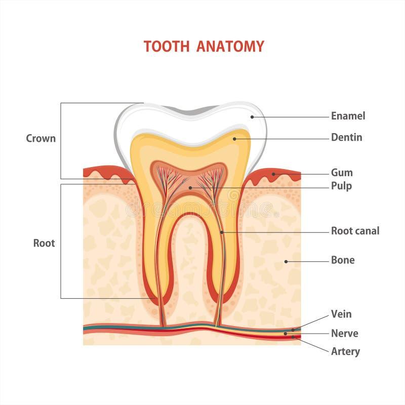 tand stock illustratie