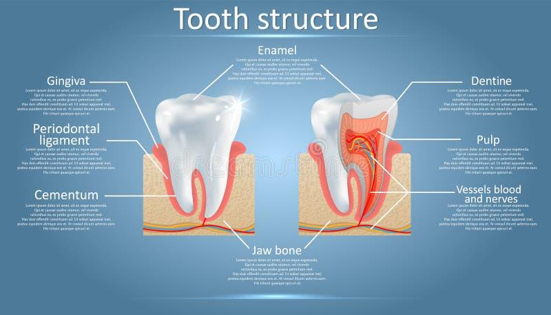 Tand- anatomi för vektor och tandstrukturdiagram royaltyfri illustrationer