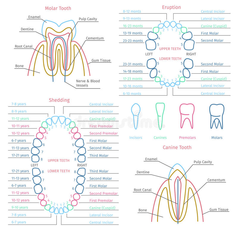 Tand- anatomivektor för vuxen människa och för mjölktand stock illustrationer