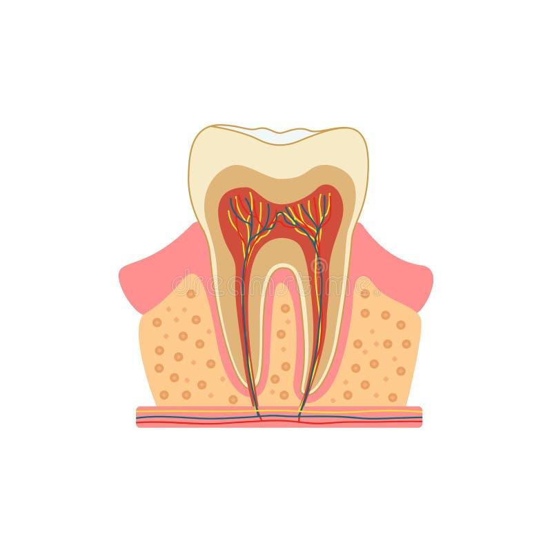 Tand in een besnoeiing Medisch diagram van de structuur van de binnendwarsdoorsnede van de tand Vector infographic concept royalty-vrije illustratie