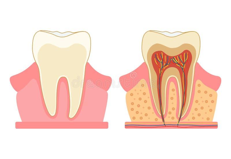 Tand in een besnoeiing Medisch diagram van de structuur van de binnendwarsdoorsnede van de tand Vector infographic concept stock illustratie