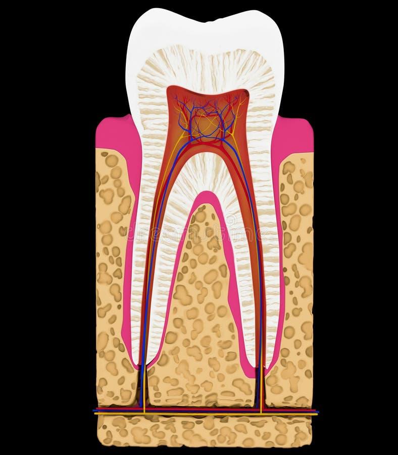 Tand geneeskunde: De geïsoleerdet besnoeiing of de sectie van de tand vector illustratie