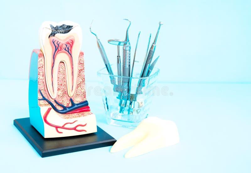 Tand- hjälpmedel och tandanatomi royaltyfri bild