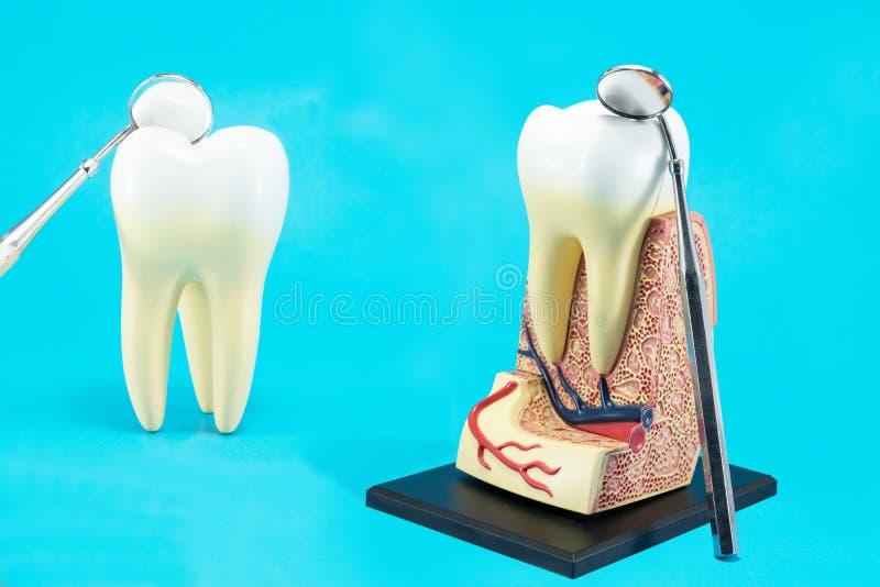 Tand- hj?lpmedel och tandanatomi royaltyfri foto