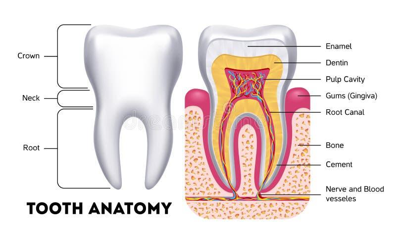 Tand- infographics för tandanatomivektor vektor illustrationer
