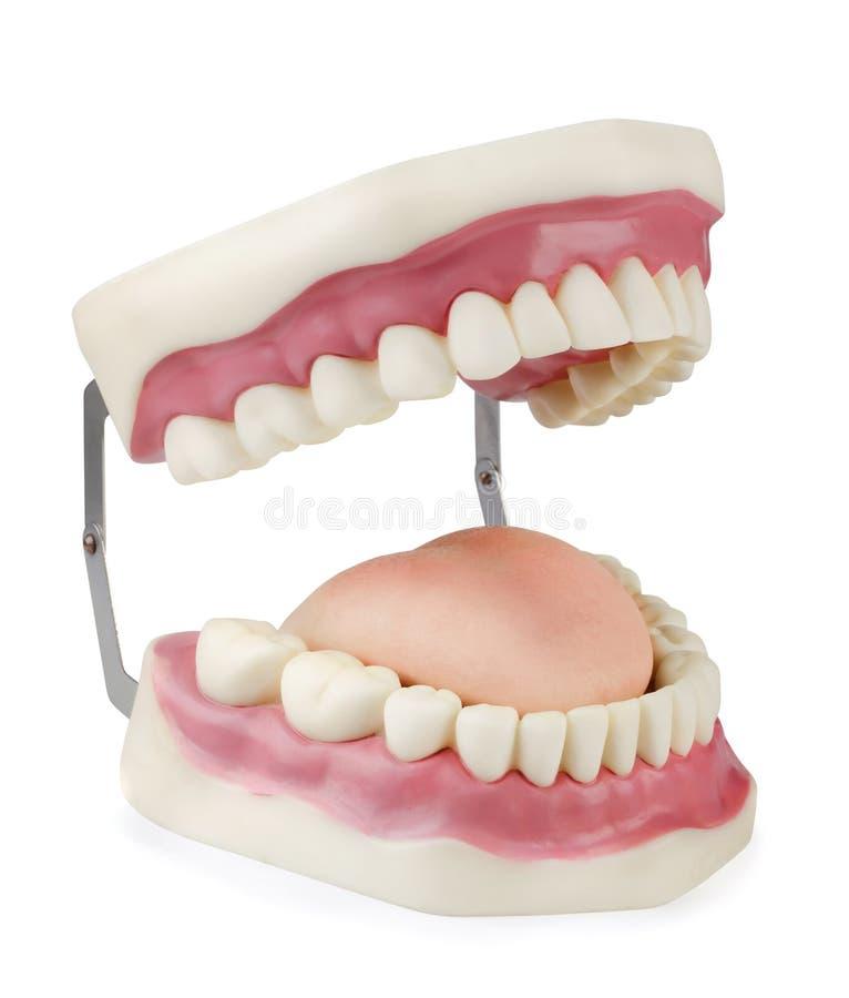 tand- modell arkivbilder