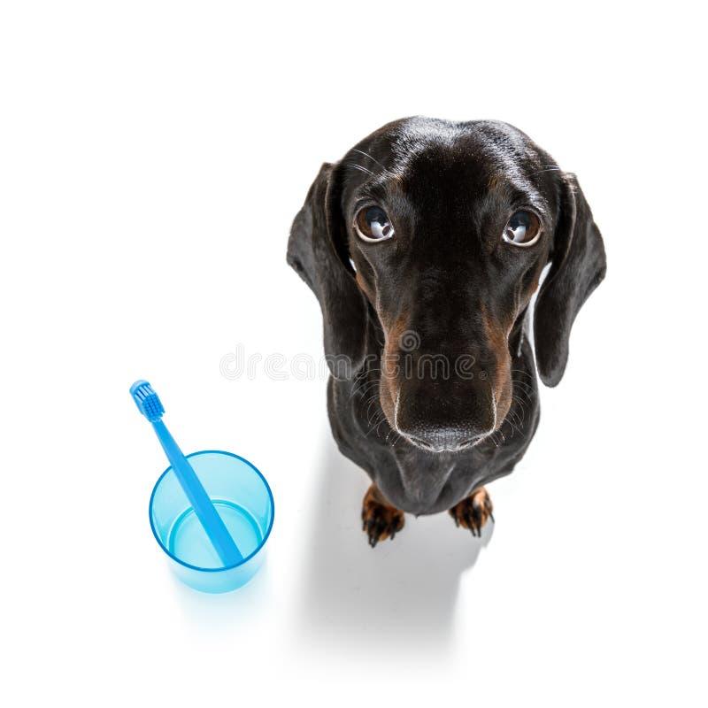 Tand- tandborstehund arkivfoto