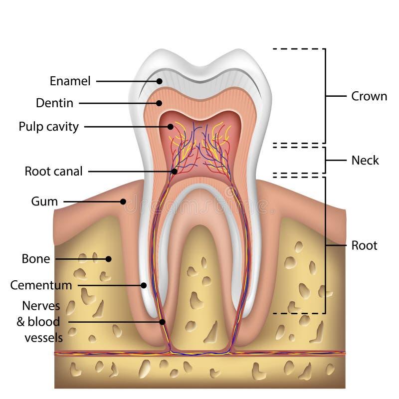 Tandanatomiinfographics Realistisk vit tandmodell Muntligt omsorghälsobegrepp Medicinsk baner- eller affischvektor vektor illustrationer