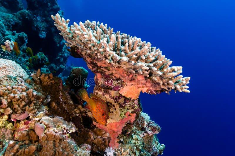 Tandbaars onderaan een hard koraal en een tropische koraalrifmuur royalty-vrije stock foto